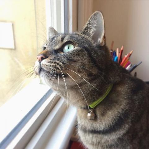 Allen intently keeping watch on the bird situation outside. #allengram #catsofinstagram #doublechin #fatcat #wildlifekiller #goofyteeth